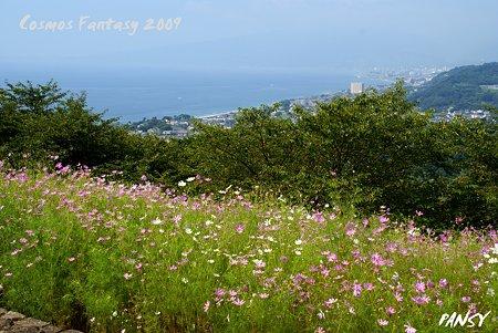 海のみえるコスモス畑・・丘の上の秋桜・・1