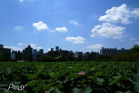 蓮の花咲く不忍池・・初秋の上野さんぽ~4