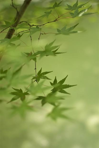 写真: 池に映える緑のモミジ