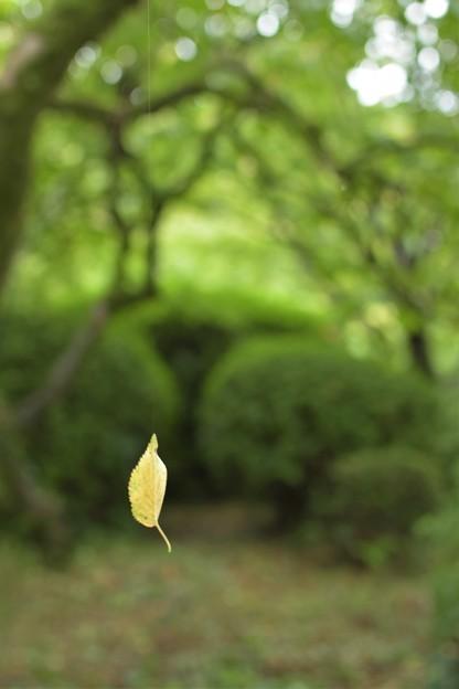 写真: 風に揺れるモミジ葉