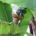 写真: RIMG0870バナナ サイズ変更