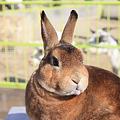 Photos: 茶ウサギ