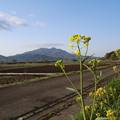 菜の花と筑波
