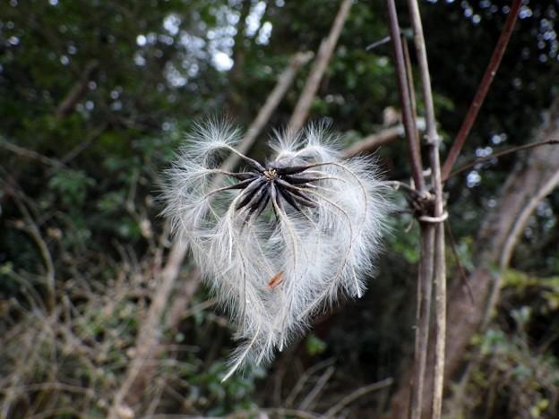 写真: 冬の綿毛  1