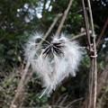 冬の綿毛  1