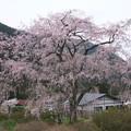 写真: 湯の山の枝垂桜