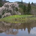 写真: 与一野の枝垂桜