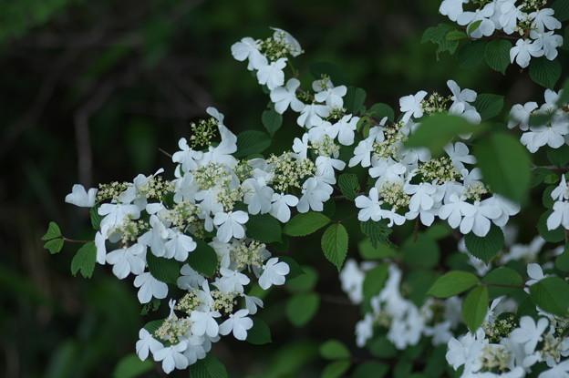 ヤブデマリの花