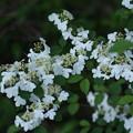 Photos: ヤブデマリの花