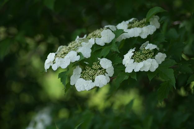 カンボクの花