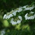 Photos: カンボクの花