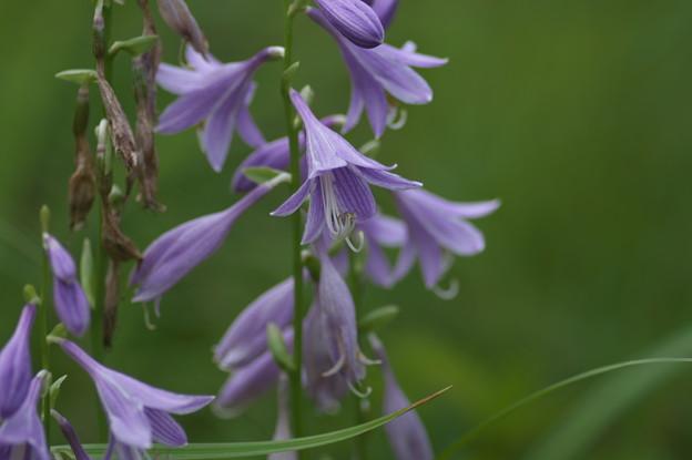 湿原の花(コバギボウシ)