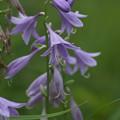 写真: 湿原の花(コバギボウシ)