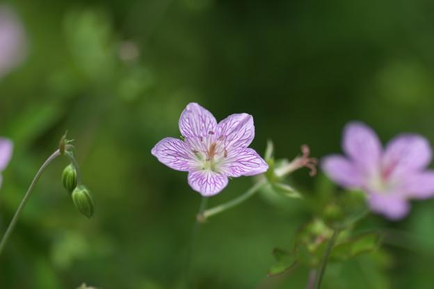 湿原の花(ビッチュウフウロ)