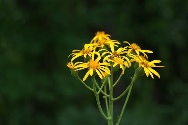 湿原の花(ハンカイソウ)