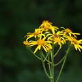 写真: 湿原の花(ハンカイソウ)