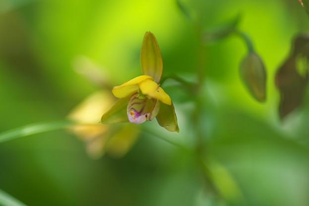 湿原の花(カキラン)