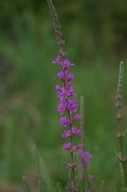 Photos: 湿原の花(ミソハギ)