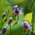 写真: 湿原の花(オオマルバノホロシ)