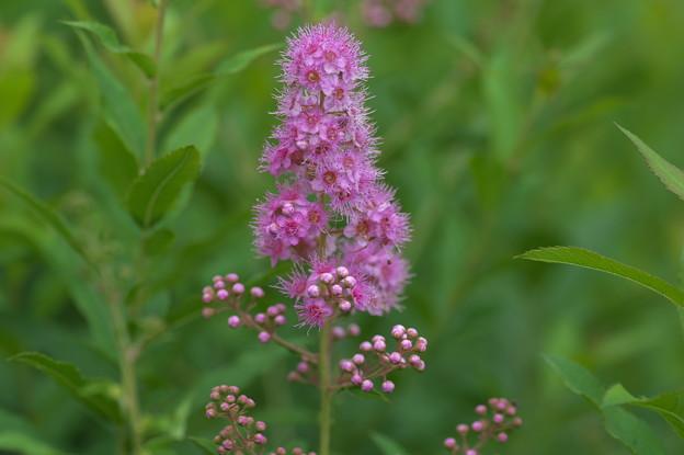 写真: 高原の花(ホザキシモツケ)