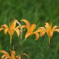 写真: 高原の花(ノカンゾウ)