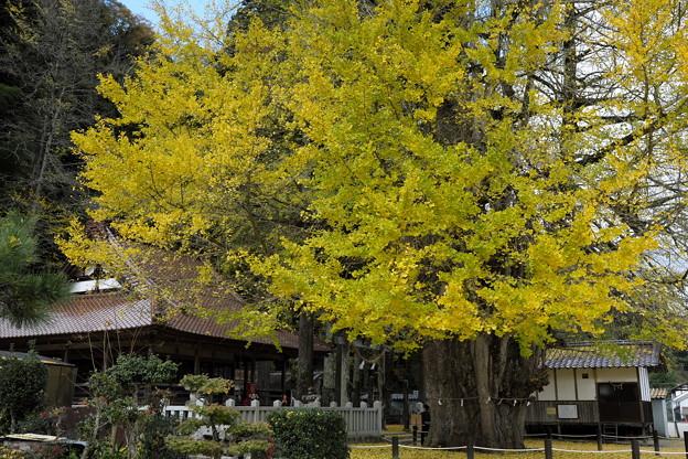 写真: 黄色に染まる