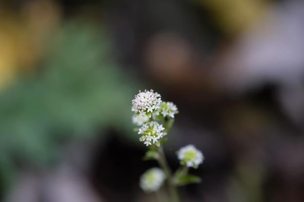 写真: 遅咲きの花(ノブキ)