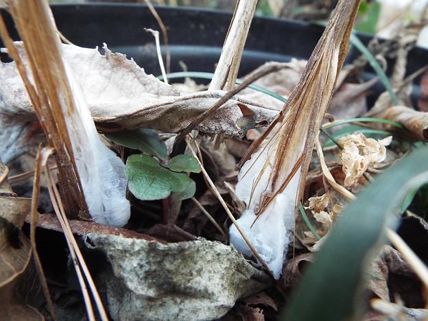 シモバシラ鉢植え11801120013