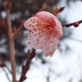 紅冬至@庭1801200014
