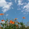 写真: キバナコスモスと夏の空