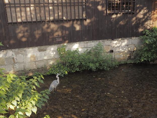 祇園の大鷺