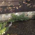 写真: 祇園の大鷺