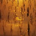 写真: 黄金の輝き~