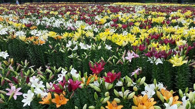 ユリの花園~(^^♪