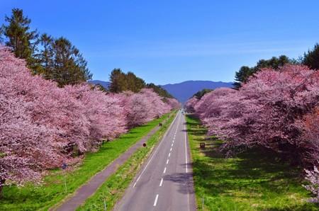 170510桜並木