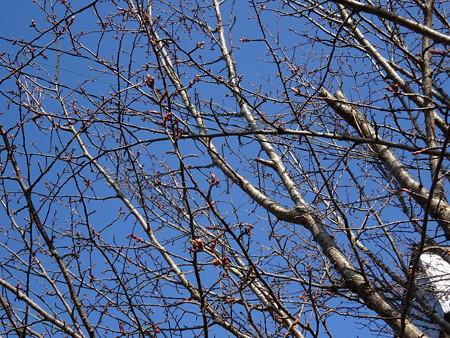 170512-09さくらの前の桜