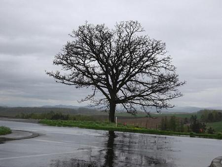 170516-06セブンスターの木
