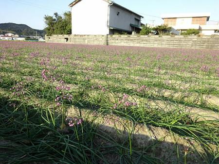 171110-48ラッキョの花