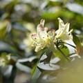 Photos: ひっそり咲くヒカゲツツジ