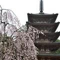 五重塔と桜1