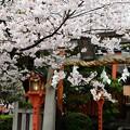 Photos: 朱(あか)灯籠覆い隠すか桜咲く