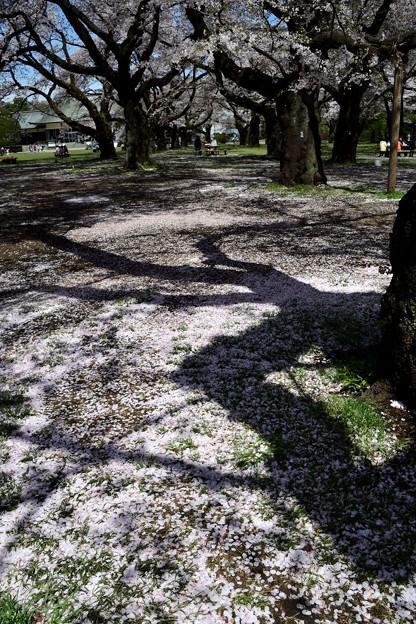 散る花に濃き影落とす古木かな