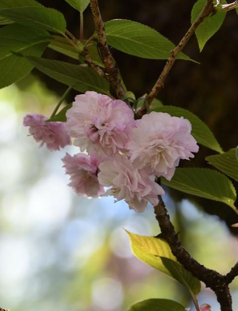 9.大村桜