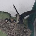 6月9日巣の中で大きく羽ばたく子