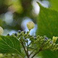 咲き始めの初々しいガクアジサイ
