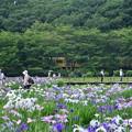 北山公園の花菖蒲と西武線