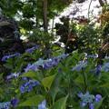 写真: 紫陽花を前にして