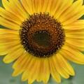 太陽のほほえみ浮かべる黄花たち