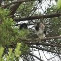 写真: ツミ幼鳥4