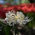 Photos: また白花曼珠沙華が咲いている
